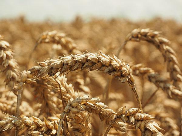 wheat-609892_1280
