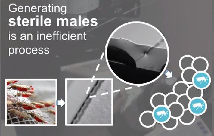 sterile males