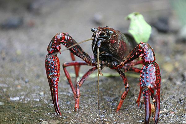 Procambarus clarkii crayfish crawfish