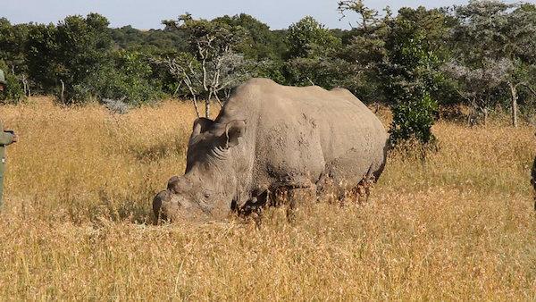 Ceratotherium_simum_cottoni_-Ol_Pejeta_Conservancy,_Kenya