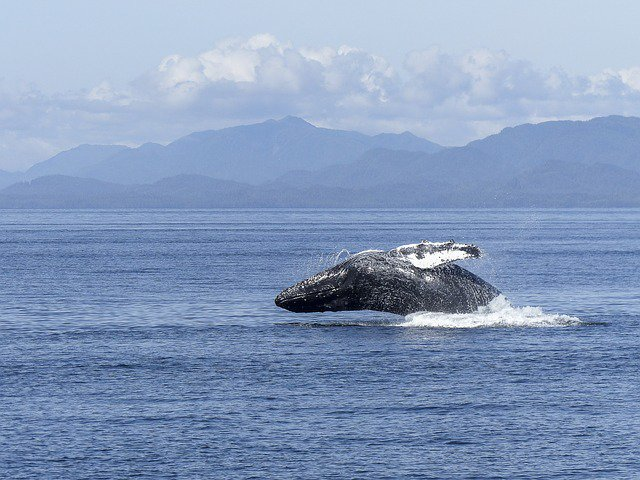 humpback-whale-436118_640