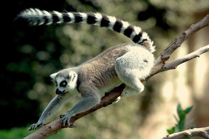 Lemure-catta8