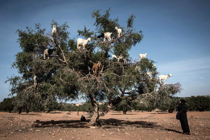 capre marocchine