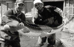 Storione adulto pescatori_piatto