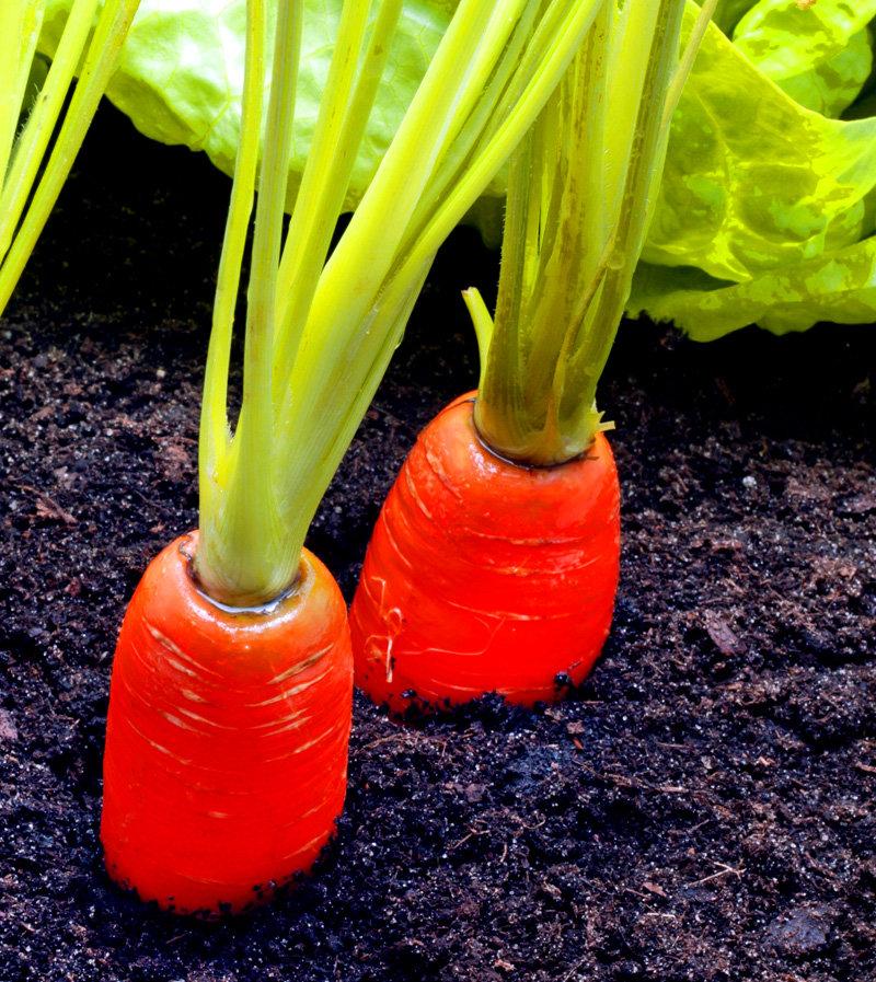 cibo_carote