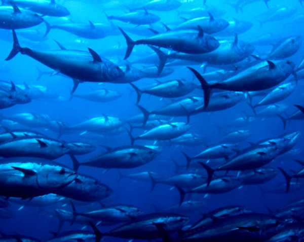 pesce_tonno_2
