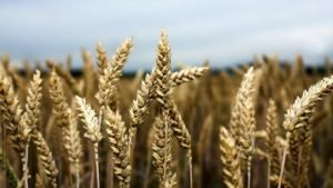 japan-blocks-wheat-imports-after-illegal-gmo-crop-scare-in-us_strict_xxl