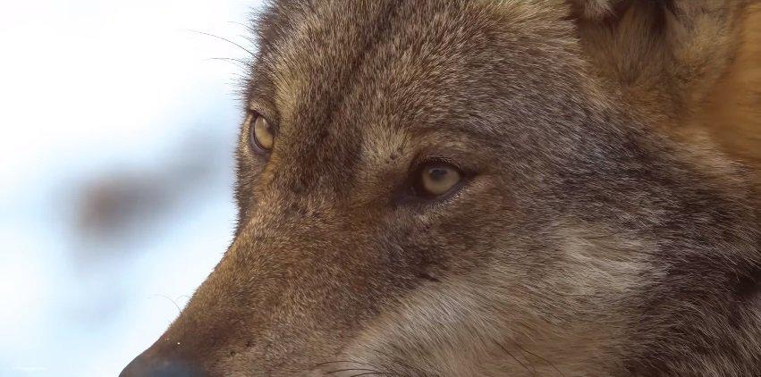 WWF: per San Valentino adottate un lupo. Ma sulle Alpi cresce la voglia di cacciarlo