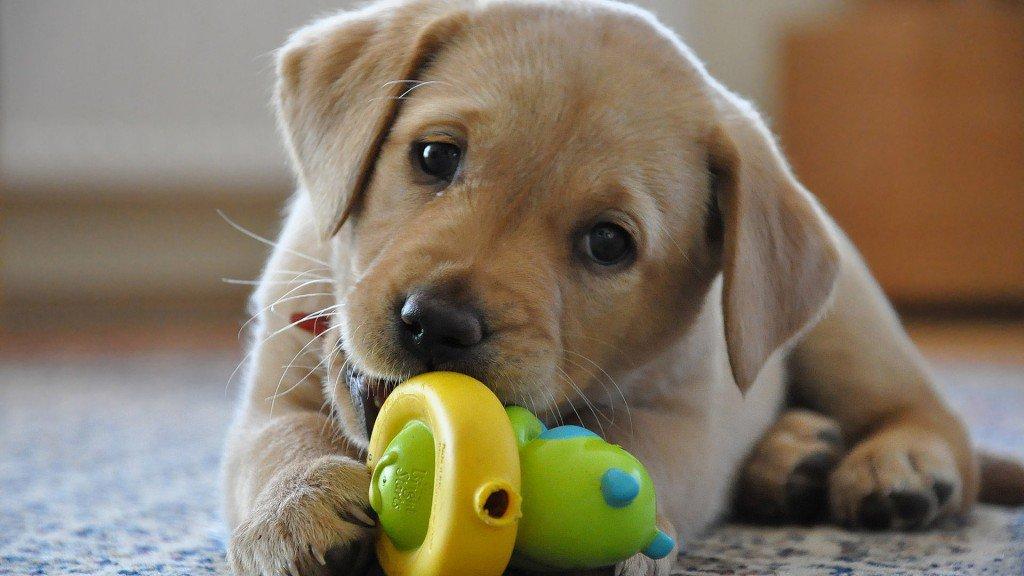 Labrador-Carattere-Cucciolo
